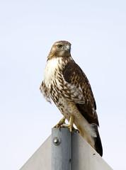 Red Tail Hawk (AmyEHunt) Tags: redtailhawk hawk raptor bird wildlife wild animal nature birdofprey predator sign post perch naturephotography canon