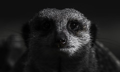 In The Shadows (Scrib Photography) Tags: meerkat meerkats animals zoos zoo africa mammals amimals