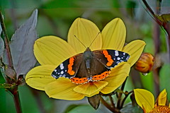 Red Admiral. (artanglerPD) Tags: red admiral butterfly yellow flower