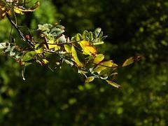 prime tracce d'autunno (fotomie2009) Tags: autumn autunno leaves foglie parco ponte dellolio emilia green leaf