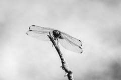 Dragonfly (mellting) Tags: eskilstuna nikond500 platser sigma1506005063sport stenbyängkronoskogen bloggad flickr instagram matsellting mellting nikon sverige sweden trollslända dragonfly insect monochrome blackandwhite bnw