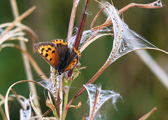 Willow herb and Small Copper (jo92photos) Tags: willowherbseedhead spearleavedwillowherb epilobiumlanceolatum seedhead seeds butterfly smallcopper insect wings autumn lycaenaphlaeas