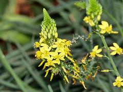 Bulbine frutescens (Eerika Schulz) Tags: bulbine frutescens brenngeleepflanze herrenhausen hannover berggarten eerika schulz