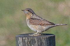 DSC5758  Wryneck... (jefflack Wildlife&Nature) Tags: wryneck birds woodlands woodpecker woods summermigrant wildlife wildbirds avian animal animals nature norfolk countryside copse jefflackphotography wildlifephotography