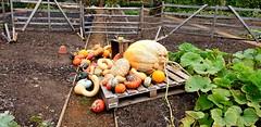 """Oh My Good Gawd"" (standhisround) Tags: vegetables gourds various behindfences fencedfriday fence garden gardens nature hamptoncourtpalace london greaterlondon england uk hff squash pumpkin turksturban"