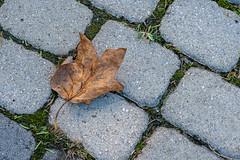 A Lone Dead Leaf on a Brick Sidewalk (John Brighenti) Tags: nature brooksidegardens wheaton maryland montgomerycounty moco montgomery parks outdoors conservatory park autumn fall plants sony alpha a7 a7rii ilce7rm2 sel70300g leaf dead ground paver stone cobblestone sidewalk bricks