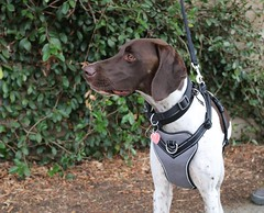 Tank (Webfoot5) Tags: dog dogs dogsonwalks dogzonwalkz germanshorthairpointer