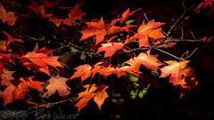 Turning leaves (Vurnman) Tags: california norcal nevadacounty nevadacity fallphotowalk smalltown autumn leaves tree orange