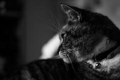 DSCF2130 (Shazaan Hyder) Tags: fujifilm fuji xt2 australia perth westernaustralia wa blackandwhite monochrome bw cat animal