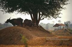 near Chiang Khan, water buffaloes in the shade (blauepics) Tags: thailand east chiang khan scenery landschaft landscape thai trees bäume field feld rice reisfeld shade schatten animal tier wasserbüffel water buffaloes agriculture landwirtschaft hut hütte relax entspannen rural ländlich