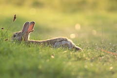Wild Bunny (Gramor) Tags: bunny wild nature photography canon eos eos200d animal animals green