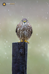 D1810170060c-WM (Louis Curtis) Tags: louiscurtisphotography 2018 bird bokeh carnivore merlin falcocolumbarius falcon nature perched predator raptor wildlife fence fencepost pole wood northamerica unitedstates texas benbrook winscottploverroad digital dslr nikon dx nikonafs600mmf4efledvrlens nikond500 nikonshooter nikonian nikonister