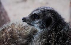 Protective Meerkat (Danielle Bea Photography) Tags: animal meerkat zoo australia wildlife canon photography love bond awesome nature safari macro closeup summer hot colour sydney experiment