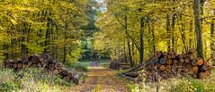Bunter Herbst in der Eifel (oblakkurt) Tags: herbst wald holz waldwege