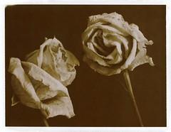 deux roses (JJ_REY) Tags: duet roses instantfilm peelapart polaroid expired sepia pack100 mediumformat toyofield 45a sironarn 150mmf56 epson v800 colmar alsace france