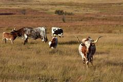 Longhorn Life (crowt59) Tags: texas longhorn life wichita mountains wildlife park oklahoma crowt59 nikn d810 nature cattle bull nikonflickraward