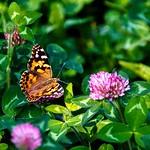 Saranac Lake  New York -  Flower Garden - Butterfly thumbnail