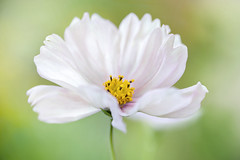 cosmos cupcake (Mandy Disher) Tags: cosmos cupcake summer flower floral flora white pink