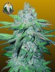 Train-Wreck (Watcher1999) Tags: train wreck autoflowering seeds cannabis auto flower medical marijuana california jamaica growing strain bob marley plant weed weeds smoking ganja legalize it reggae