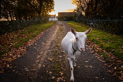 Walking a Goat (Rob Sutherland) Tags: goat walk fujifilm xt3 fujinon 1855 farm farming animal livestock road track lane agriculture agricultural sunset buildings traditional wall light tree rural scene postcard gartur dykehead menteith stirling stirlingshire scotland white