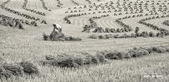 LANDSCAPE PHOTOGRAPHER OF THE YEAR  2018 - Commended (macdad1948) Tags: migrantworkers devon 2018 landscapephotographeroftheyear hayfield coldridge sheaths harvest stooks winkleigh thatch crediton hillsofdevon summer straw