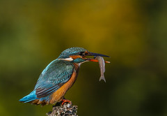 Fishing Kingfisher (Nigey2) Tags: bird birds kingfisher fishing fish colour