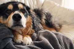 Belle. (Kileenie_Weenie) Tags: rip love cute dog australianshepherd belle