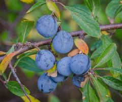 Autumn berries (frankmh) Tags: berry blueberry autumn fall colour hittarp skåne sweden macro tree