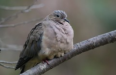 Keeping Warm (Diane Marshman) Tags: mourningdove mourning dove large bird gray brown tan black feathers perched tree branch fall pa pennsylvania nature wildlife