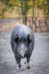 Here I come . . . (Jez22) Tags: pig farm animal pork bacon food cute photo copyright jeremysage pluckley