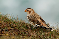 IMG_3063 (monika.carrie) Tags: monikacarrie wildlife scotland isleoflewis snowbunting