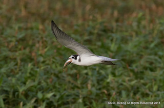 Black Tern with I think  monster Perch