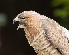 Broad Winged Hawk (Gene Mordaunt) Tags: mountsbergraptorcentre ontario raptor broadwingedhawk bird birdofprey wildlife nikon810