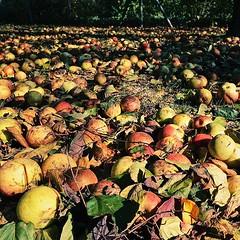 Harvest #äpfel #apfel #apple #apples #autumn #fall #herbst #goldeneroktober #indiansummer #vsco #vscocam #sun #sonne #bavaria #bayern #mühldorf