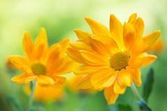 chrysanthemum 6241 (junjiaoyama) Tags: japan flower plant chrysanthemum mum yellow autumn fall macro bokeh