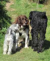 Benjy,Peggy and Louis (billnbenj) Tags: benjy spaniel springerspaniel dog barrow cumbria