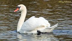 Mute Swan at Ham Wall (DougRobertson) Tags: rspb hamwall reserve muteswan swan water wildlife animal bird birdwatcher nature coth5