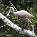 Roseate Spoonbill, juvenile (Platalea ajaja) (Frank Mantlik) Tags: roseatespoonbill plataleaajaja connecticut stratford rarebird