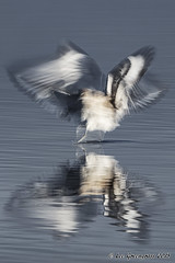 Life As Blur (pandatub) Tags: ebparks ebparksok bird birds willet hrs haywardregionalshoreline