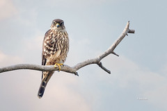 Merlin (Mike Veltri) Tags: falcons falcon merlin pigeonhawk migration wild naturephotography burlington ontario canada