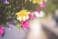 The Last Beauty.... (KissThePixel) Tags: hangingbasket flower flowers garden cottage cottagegarden bokeh beautiful bokehlicious beautifulday macro closeup nikon nikond750 50mm pov depthoffield dof dofalicious f14 14 october