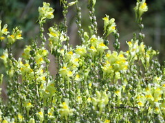Butter-and-eggs (Linaris vulgaris) (Gerald (Wayne) Prout) Tags: butterandeggs linarisvulgaris yellowtoadflax commontoadflax plantae angiosperms eudicots asterids lamiales scruphulariaceae linaris vulgaris goldcorphollingerlinksparktrail cityoftimmins northeasternontario northernontario ontario canada prout geraldwayneprout canon canonpowershotsx60hs powershot sx60 hs digital camera photographed photography wildflowers plants plant flowers wild goldcorp hollinger links park trail city timmins northeastern northern butter eggs