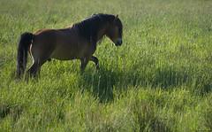 Pony in a Sea of Grass (peter_hasselbom) Tags: horse horses pony ponies gotlandpony gotlandsruss russ pasture grazing grassland björketorp sjuhärad västragötaland västergötland spring latespring green 300mm stallion