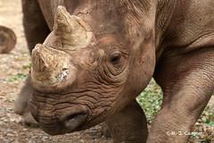 Momma Rhino (mjcarsonphoto) Tags: clevelandmetroparks zoo wildlife blackrhinoceros