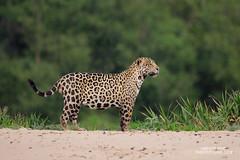 Jaguar (www.NeotropicPhotoTours.com) Tags: jaguar panteraonca neotropicphototours juancarlosvindas nature wildlife photography pantanal brazil kingofthejungle