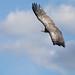 Rupell's vulture (Gyps rueppellii)