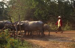 near Nong Khai, bringing the water buffalos home (blauepics) Tags: thailand east nong khai landschaft landscape fields felder bushes büsche water buffalos wasserbüffel büffel animals tiere frau woman farmer bauer agriculture landwirtschaft rural ländlich