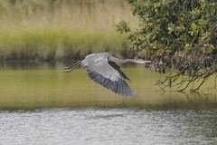 _A736383a (bram-sowers) Tags: rappahannockriver september 2018 warsawvirginia butterfly monarch moth yellowbelliedflycatcher blueheron chez marv persimmon sunset sonya7riii sonyfe100400mmgm