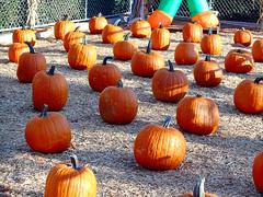Pumpkin Patch (EmperorNorton47) Tags: ranchosantamargarita california pumpkinpatch photo digital autumn fall pumpkins squash vegetables halloween thanksgiving