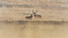 Red Deer Stags (doranstacey) Tags: nature wildlife red deer stag animals white edge peak district autumn autumnwatch tamron 150600mm nikon d5300 moors moorland fall